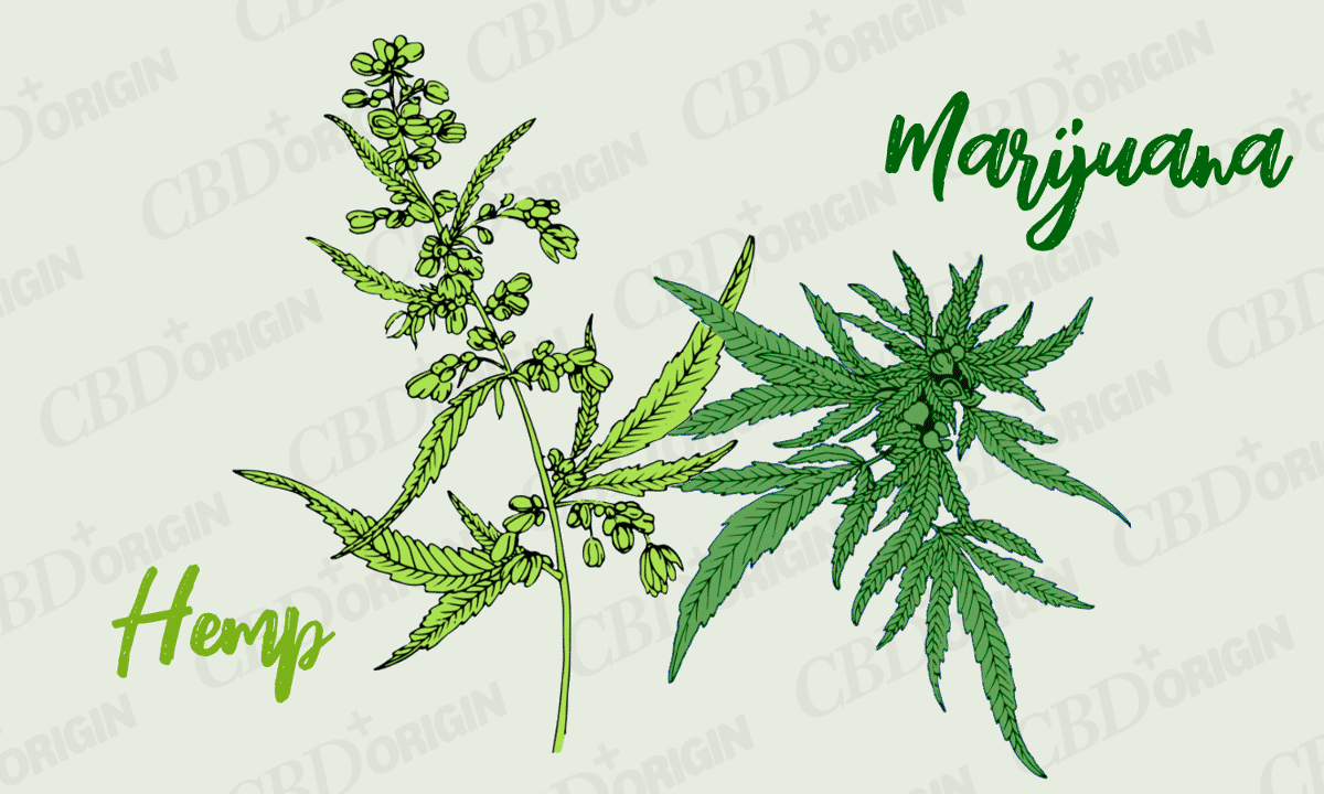 Hemp vs Marijuana | Difference Between Hemp and Marijuana | CBD Origin