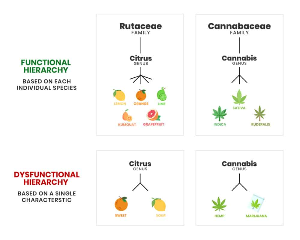 Hemp vs Marijuana - Cannabis Genus Classification Comparison - CBD Origin