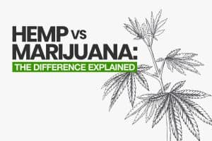 Hemp vs Marijuana: The Difference Explained | CBD Origin
